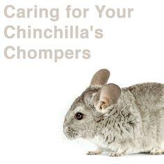 Chinchillas, Healthy Pets, Dental Hygiene, Happy Animals, Teeth, Chinchilla, Tooth