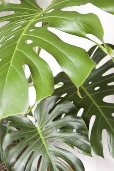 Big Leaf Plants, Big Indoor Plants, Plant Leaves, Monstera Leaves, Banana Plant Indoor, Banana Plants, Monstera Deliciosa, Artificial Flower Arrangements, Artificial Flowers