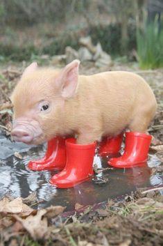 #cochon 100 bébés animaux trop mignons
