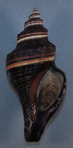 Pugilina morio (Linnaeus, C., 1758). off Guarapari, Espirito Santo, Brazil. Rick Californiashells. | eBay!