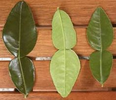 """Kaffir Lime Leaves. What an amazing flavor. Truly one of a kind. Cut out the center """"stick,"""" and chop it very fine. Add to stir-fry dishes. Adds a heavenly citrus/herbal flavor."""