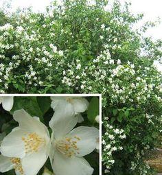 Vand lamaita. Iasomie de vanzare: Numeroasele flori de culoare alb-crem au 2,5-3cm diametru, sunt iubite si renumite pentru parfumul si frumusetea lor. Este un soi care rezista bine la soluri calcaroase si poluarea oraselor. Se planteaza solitar, grupat cu alti arbusti sau ca si gard viu netuns.