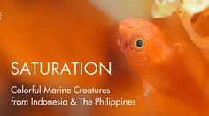 SATURATION - Colorful little marine creatures from the Lembeh Strait in Indonesia & Anilao in The Philippines