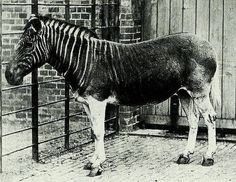 1870: The only existing photo of a Quagga, a plains zebra that is now extinct.