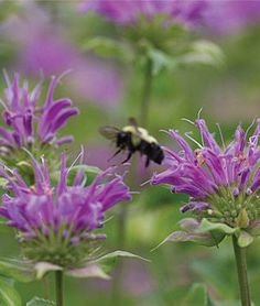 Monarda fistulosa, Humdinger .Produce a flurry of showy violet-pink flowers that go on blooming.