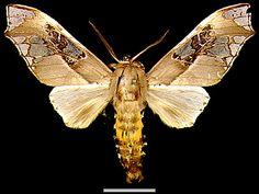 Parathyris cedonulli cedonulli