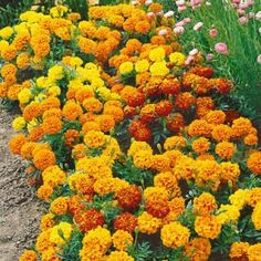 Marigolds - rabbit deterrent and natural insecticide.   Use as border and ground cover around house.