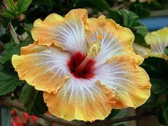 Hibiscus by uwebwerner, via Flickr