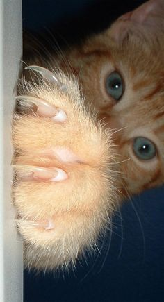 Here is a step by step procedure on how to trim your cat's nails.