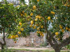 Zitronenbaum wirft Blätter ab