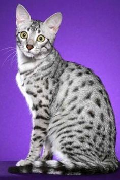 Egyptian Mau - photo by Helmi