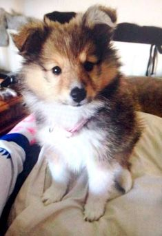 The Shetland Sheepdog originated in the and its ancestors were from Scotland, which worked as herding dogs. These early dogs were fairly Cute Puppies, Dogs And Puppies, Cute Puppy Photos, Pet Dogs, Pets, Doggies, Sheep Dogs, Shetland Sheepdog Puppies, Herding Dogs