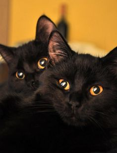 Toooooo sweeeeeeeeet awwwwww ♡♡♡♡♡♡♡♡  Yes, love and adopt 2 black kitties at once.