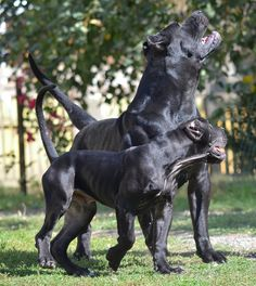 Cerber and his 4 months old son #presacanario