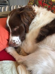 Brittany Spaniel Pepi, Dog of pet parent Ken & Susana   Pawshake