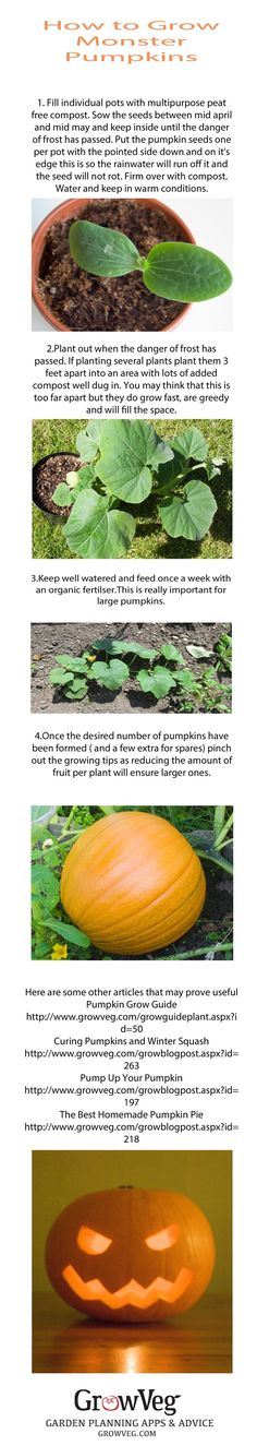 How to grow the biggest Monster Pumpkins!  If you click through, you'll just see a pic of this info.  Which is GREAT by the way!