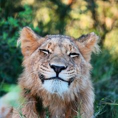 Baby animals photography big cats 62 Ideas for 2019 Smiling Animals, Happy Animals, Animals And Pets, Funny Animals, Cute Animals, Beautiful Cats, Animals Beautiful, Big Cats, Cats And Kittens
