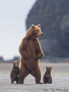 Bear family standing - The Best In Photography