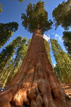 The General Sherman, Sequoia National Park, California - American National Parks