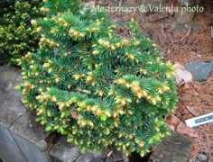 Picea abies 'Palecek' Picea Abies, Evergreen, Landscape Design, Trees, Gardens, Plants, Landscape Designs, Tree Structure, Outdoor Gardens
