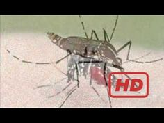 Popular Videos - Virus & Documentary Movies hd : Chickungunya  Virus Doc...