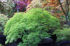 """Acer palmatum """"Filigree"""""""