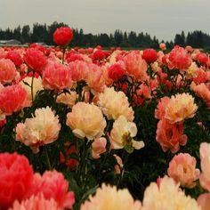 peony field,this is the definition of pure happiness