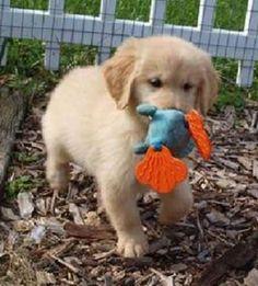 Gystdyh Golden Retriever Puppies for Sale........