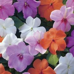 Xtreme Pastel Mix Impatiens - Annual Flower Seeds