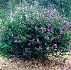 Alyogyne huegelii - Australian native hibiscus. My current favourite drought tolerant plant!