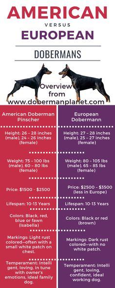 Doberman Breed, Doberman Tattoo, Doberman Pinscher Puppy, Doberman Love, Dobermans, American Doberman, European Doberman, American Dog, Big Dogs