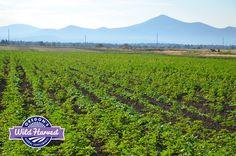 Oregon's Wild Harvest 2015 Organic Fields  #culveroregon #organicherbs #biodynamic #nongmo