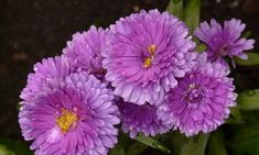 6 Fun Facts About the September Birth Flower