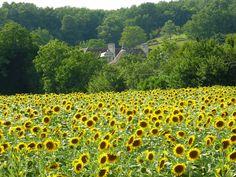 Sun flowers around La Trimouille