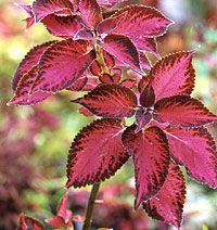 No-Fail Cuttings; African violet (Saintpaulia),Coleus (Solenostemon),Geranium (Pelargonium), Impatiens,Philodendron