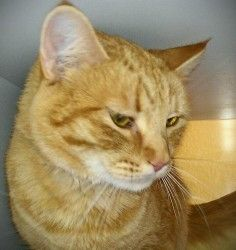 Linus is a Domestic Short Hair.  He is a beautiful boy.  He needs to be on prescription diet to prevent urinary infections. http://www.petfinder.com/petdetail/24188195#