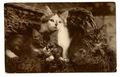 vintage-cat-postcard-Sheahan-beautiful-trio-cats-kittens-pose