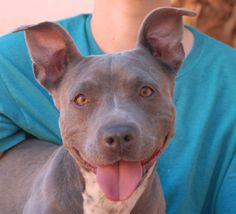Ariel, a junior puppy who overflows with happiness and enthusiasm, debuts for adoption today at Nevada SPCA (www.nevadaspca.org).  She is a radiant, small Bully mix, 9 months of age, spayed, and terrific with people.  Ariel was found on the streets with no sign of responsible ownership.  Please give her kind guidance and a steady lifestyle routine.