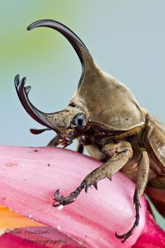 Rhinoceros beetle  really does look like miniature rhino here