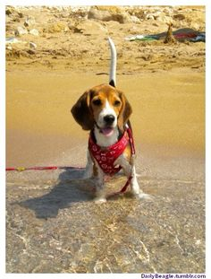 Beagle on the beach!