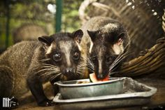 Charlie & Angel are two civet cats rescued by WFFT Rescue Center; they love their melon treat!