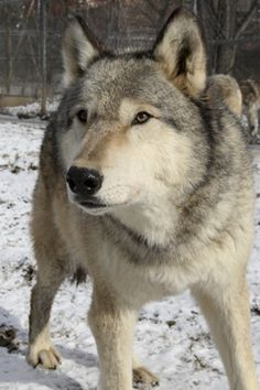 Tioga at the PA Wolf Sanctuary