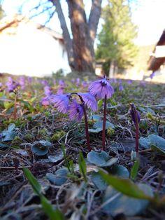 Die Wiesen blühen wieder, die Sonne schein, die Temperaturen steigen. Herrlich, wie sich der Bergfrühling aktuell in der Lenzerheide präsentiert.  www.hotelauszeit.ch www.facebook.com/hotelauszeit www.instagram.com/hotelauszeit