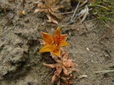 Flor típica de la estepa