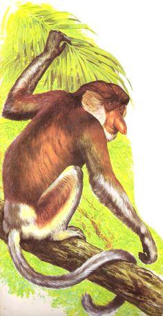 Enciclopédia Os Bichos - Editora Abril Cultural (1970) - Macaco Narigudo.