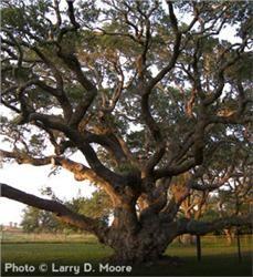 Live Oak - Quercus virginiana