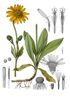 19th CENTURY ILLUSTRATION  Arnica montana, otherwise known as Wolfsbane.  It was used as a STIMULANT but ingesting too much of the plant could result in severe  gastroenteritis or internal bleeding.