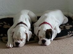 Lola and Ruby. Boxer dog puppies :-) This is funny! My mom had 4 sisters and 5 brothers. Her 2 favorite sisters were Lola and Ruby. White Boxer Dogs, Boxer And Baby, Boxer Love, Baby Dogs, White Boxers, Cute Puppies, Cute Dogs, Dogs And Puppies, Doggies