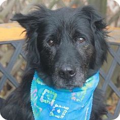 Garfield Heights, OH - Flat-Coated Retriever/Chow Chow Mix. Meet Fozzy, a dog for adoption. http://www.adoptapet.com/pet/17114991-garfield-heights-ohio-flat-coated-retriever-mix