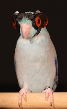 A parrotlet equipped with custom laser goggles has allowed researchers to study how birds achieve lift. Funny Parrots, Funny Pictures, Funny Pics, Aviation, Birds, Science, How To Wear, Prints, Scientists